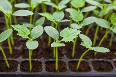 Огурцы высаживают на рассаду за 4-5 недель до высадки в грунт