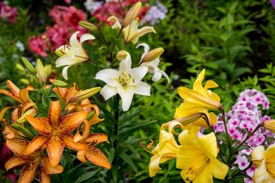 Условия выращивания лилий разных сортов могут быть прямо противоположными