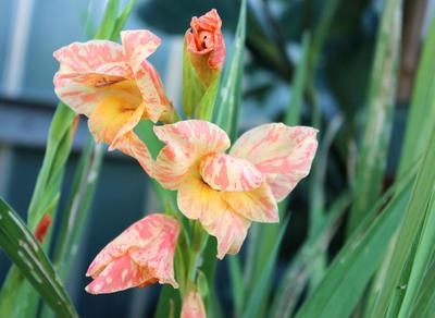 Оставляя цветоносы до конца цветения, вы задерживаете вызревание клубнелуковиц