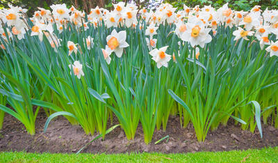Высаживать нарциссы в цветниках надо крупными массивами, строго по сортам