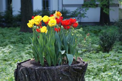 Любителям эффектных тюльпанных композиций понравится такой прием, как букетная посадка