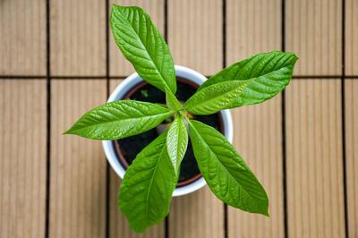 У авокадо красивая насыщенно-зеленая листва