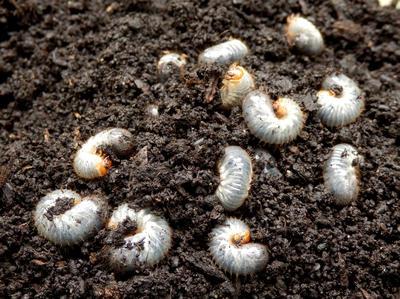 Личинки майского хруща - злостные садово-огородные вредители