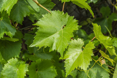 Резные листочки винограда не только красивы, но и полезны