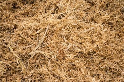 Сфагнум - болотное растение, из которого образуется торф