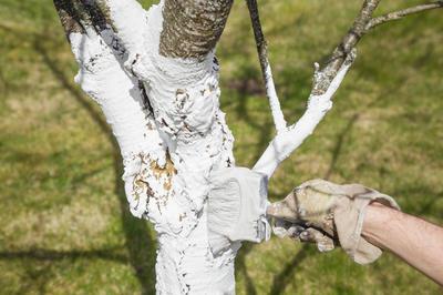 Побелить деревья не так тяжело, зато сколько пользы это принесет!