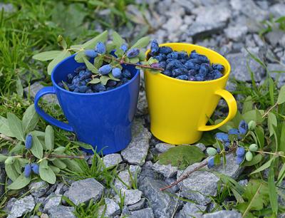Ягоды жимолости вкусны и полезны в свежем виде, годятся они и для переработки