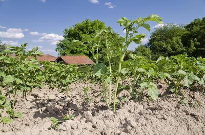 Недостаток влаги снижает усваивание азота
