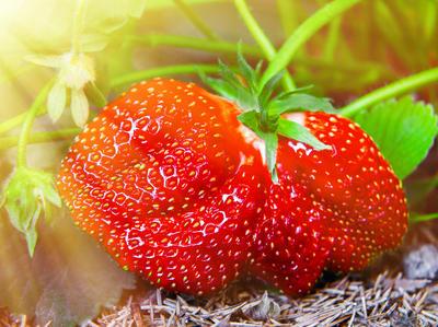 Обилие крупных и вкусных ягод в текущем сезоне закладывается в середине лета прошлого года
