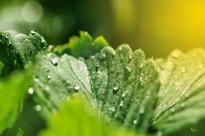 Можно наблюдать несколько циклов нарастания листовой массы у клубники