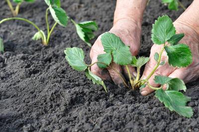 Розетки с усов - посадочный материал для обновления плантации