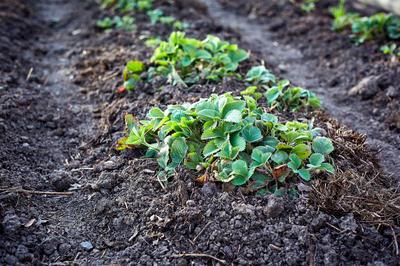 Окучивание кустов клубники - важный агротехнический прием