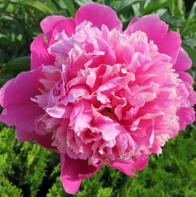 Пион Monsieur Jules Elie имеет розово-сиреневый цвет