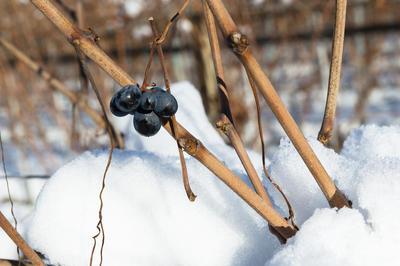 Практически все более-менее интересные сорта винограда требуют укрытия на зиму