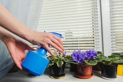 Сенполия нуждается в повышенной влажности воздуха