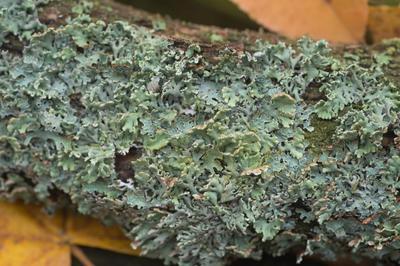 С помощью купороса можно уничтожить лишайники на стволах деревьев