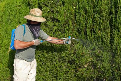 Обработка железным купоросом эффективна для хвойных растений