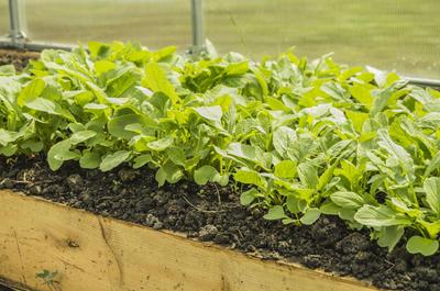 Редис - одна из лучших культур для ранневесеннего посева