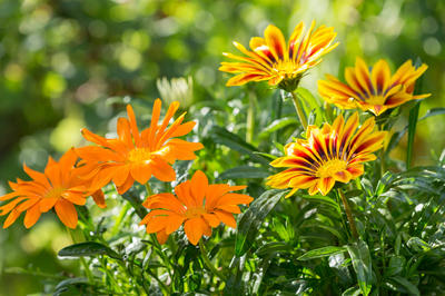 Даже при минимальном уходе газания цветет непрерывно