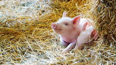 Солома — хороший материал для подстилки животным