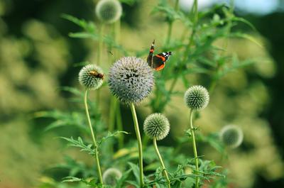 Во время цветения медоносный мордовник купается во внимании насекомых-опылителей