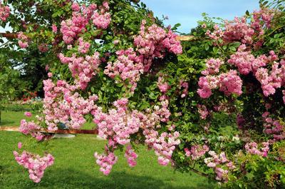 Пышное цветение плетистой розы