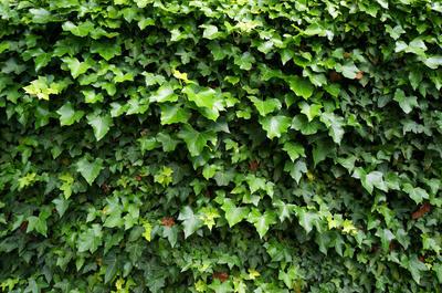 Зеленая стена плюща