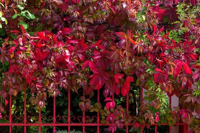 Яркая осенняя окраска девичьего винограда