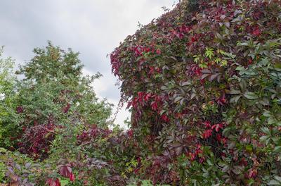 Девичий виноград пятилисточковый очень агрессивен. Иногда под ним сложно разглядеть даже фасад дома