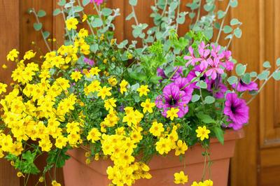Биденс с желтыми цветками