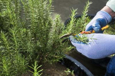 Формирующую обрезку розмарина проводят весной