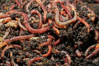 Биогумус — это то, что сделано дождевыми червями