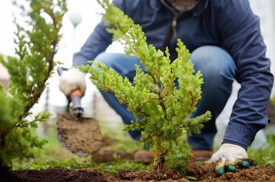 Молодые растения лучше высаживать в грунт весной