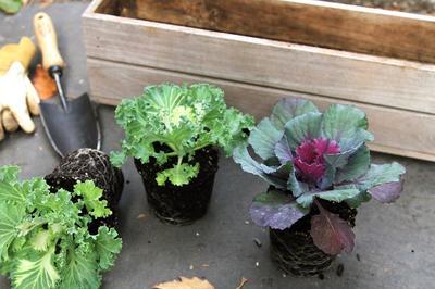 Рассаду высаживают в лунки перевалкой из стаканов. Фото с сайта lockerdome.com