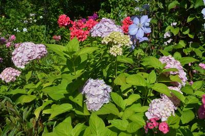 Правильный уход даст возможность любоваться пышными цветами гортензии крупнолистной каждое лето. Фото автора
