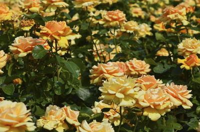 Розы любят солнце. Фото автора