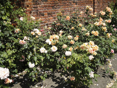 Монопосадки роз. Фото автора