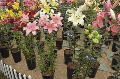 Цветущие лилии с закрытой корневой системой в садовом центре