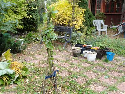 Одиноко растущие растения придется укрывать индивидуально. Фото автора