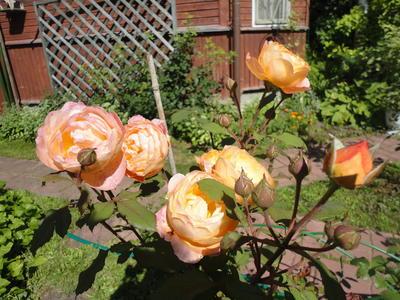 Куст английской розы в моем саду выращивается отдельно как солитер (сорт Lady Emma Hamilton). Фото автора
