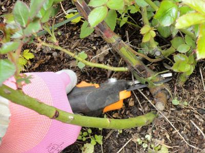 Санитарная обрезка роз. Удаляем побеги, пораженные инфекционным ожогом. Фото автора