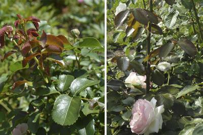Глянцевая листва препятствует сильному испарению влаги, а колючки эволюционный механизм, необходимый для жизни розы в засушливом климате. Фото автора