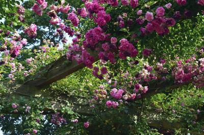 Пергола для розы должна быть капитальной. Фото автора