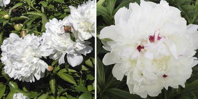 Festiva Maxima хорошо узнаваемый и любимый всеми пион. Цветок имеет характерные малиновые мазки. Фото автора