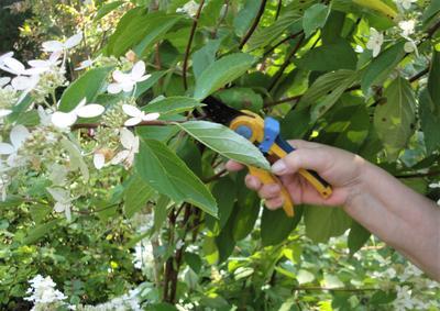 После посадки соцветия обрезают. Фото автора