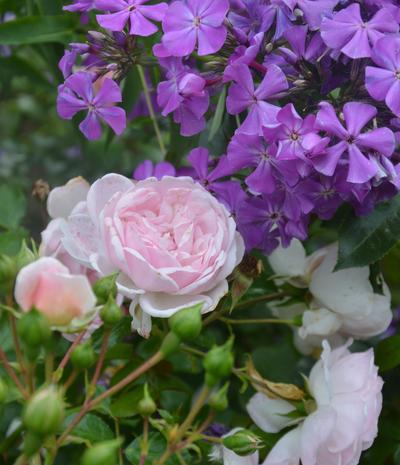 Синие флоксы прекрасно гармонируют с розами. Фото автора