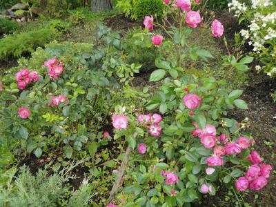 Роза Angela в окружении невысоких хвойных. Фото автора
