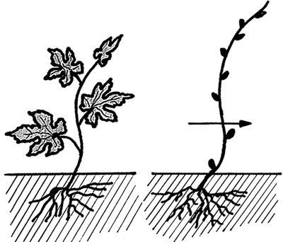 Первая обрезка саженца на 2 почки. Фото из книги Сад и огород. Секреты легких урожаев
