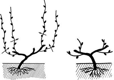 Слева схема обрезки осенью третьего года; справа - удаление пенька. Фото из книги Сад и огород. Секреты лёгких урожаев