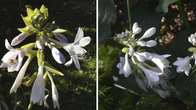 Ароматные цветки Kiwi Full Monty словно маленькие лилии (слева), цветки Elegance похожи на гиацинт. Фото автора